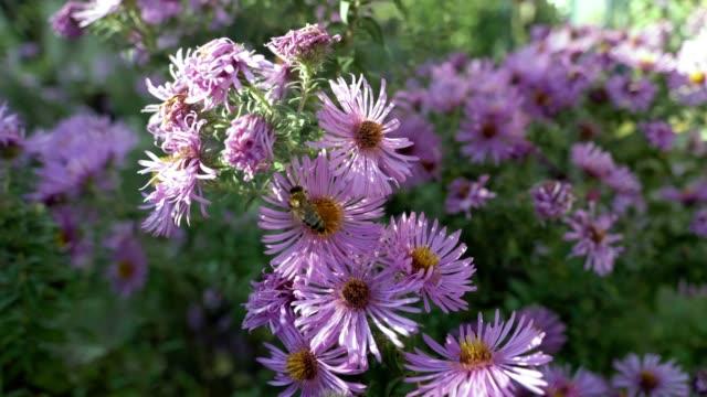 vídeos de stock, filmes e b-roll de abelha em uma flor selvagem coletando néctar. - flor temperada