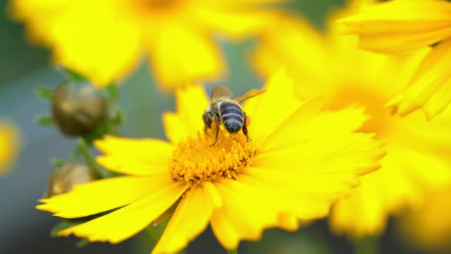 bee on a yellow flower collecting pollen and gathering nectar to produce honey in the hive. - coreopsis lanceolata video stock e b–roll