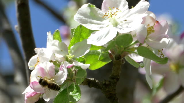 Bee on Apple Blossom video