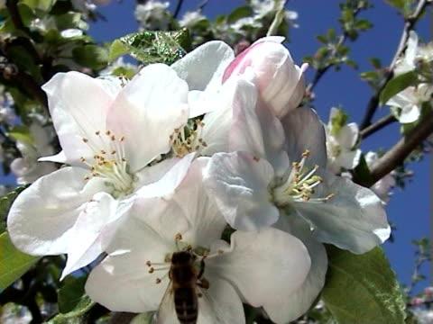 vídeos y material grabado en eventos de stock de abeja en manzana flores (pal - insecto himenóptero