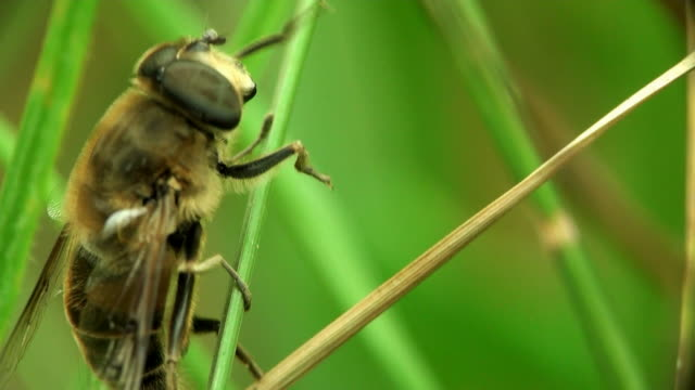 Bee on blade of grass video