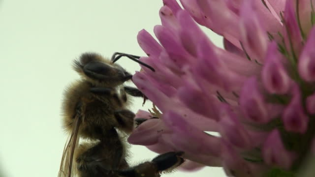 Bee on clover video