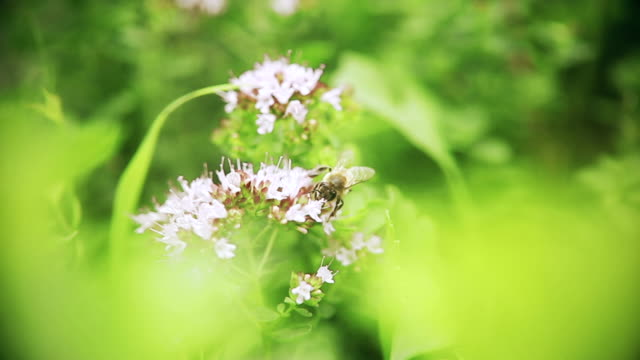 bee on flower collects honey. bee on flower collects honey apple nectar - pistillo video stock e b–roll
