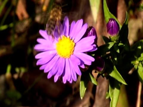 ape sul fiore ntsc - stame video stock e b–roll