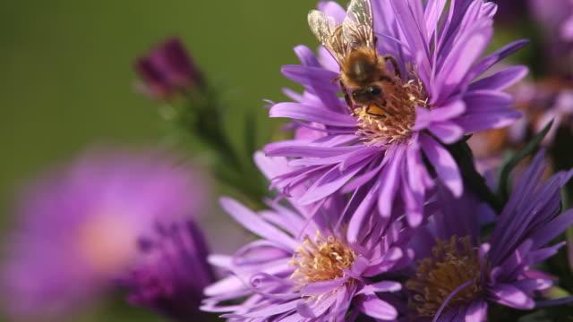 Bee on flowers video