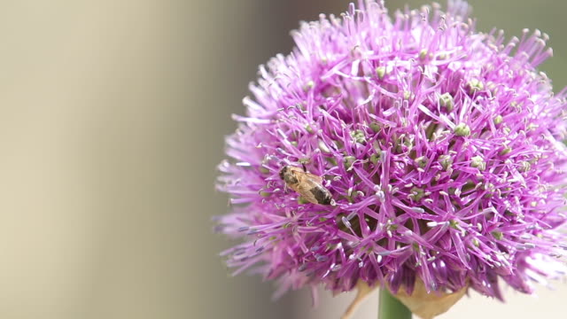 Bee on purple Allium flower. Bee collects nectar from a flower in sunny summer day, macro. Honeybee on Flower