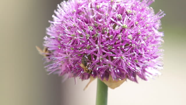 Bee on purple Allium flower. Bee collects nectar from a flower in sunny summer day, macro. Honeybee on Flower video
