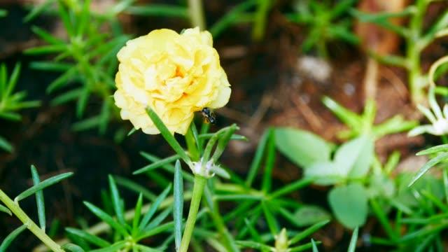 Bee on purslane flower blooming