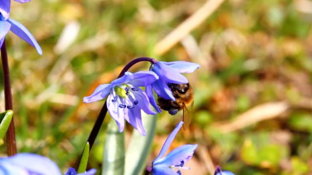 vídeos de stock e filmes b-roll de abelha na macro blue de flores de primavera - maio