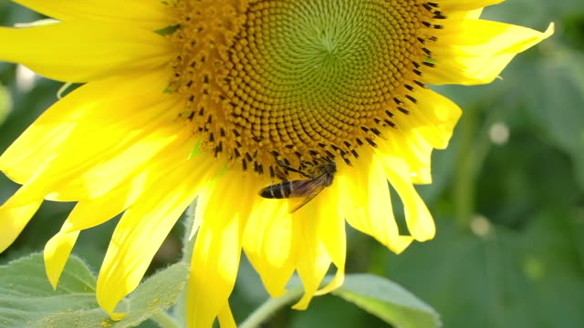 bee on sunflower slow motion. - coreopsis lanceolata video stock e b–roll