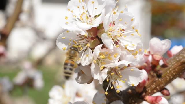 bee on the cherry blossom. no camera movement. - albicocco video stock e b–roll