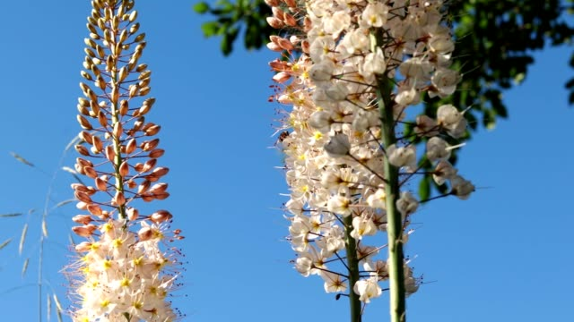 A bee on the flower of Eremurus.