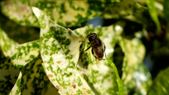 Bee on the leaf in 4K Slow motion video