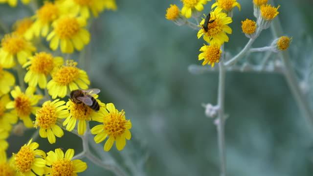 bi på en gul blomma - pollinering bildbanksvideor och videomaterial från bakom kulisserna
