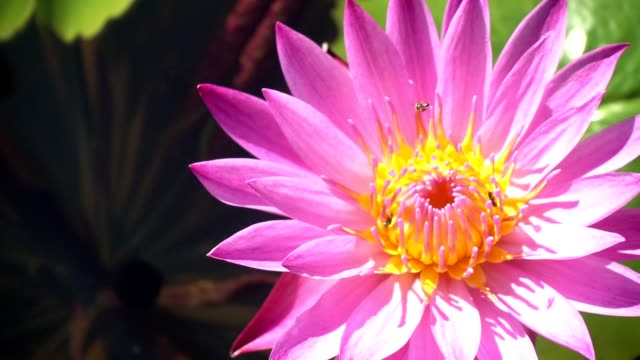 Bee on Water Lily Slow Motion Bee on Water Lily Slow Motion animal antenna stock videos & royalty-free footage