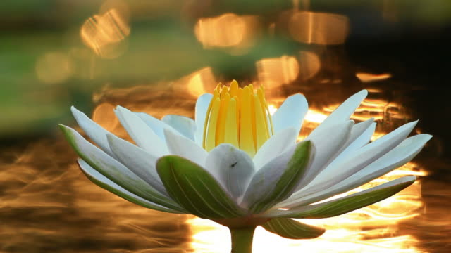 Bee on Water Lily video