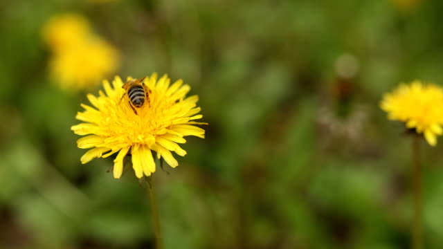 Bee on yellow blossom dandelion and clovers in springtime - vídeo