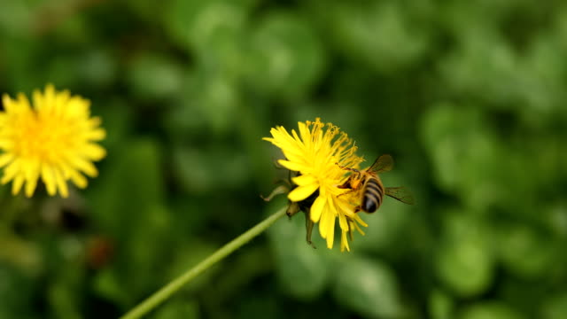 Bee on yellow blossom dandelion and clovers in springtime video