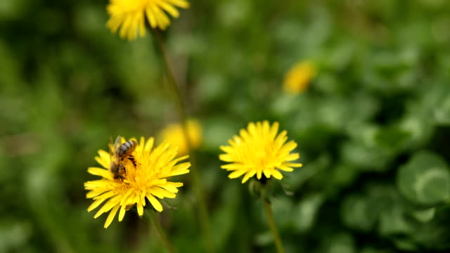 Bee on yellow blossom dandelion and clovers in springtime