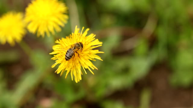 Bee on yellow blossom dandelion and clovers in springtime - video