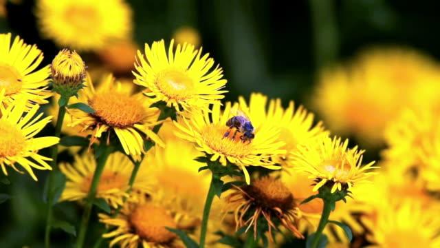 bi på yellow fleabane cinemagraph - bi insekt bildbanksvideor och videomaterial från bakom kulisserna