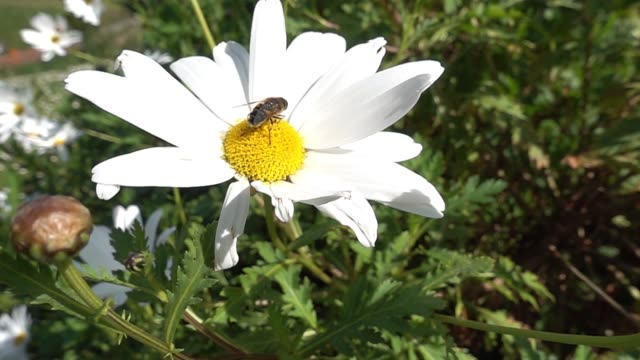 a bee perched on a marguerite flower flies away - ape regina video stock e b–roll