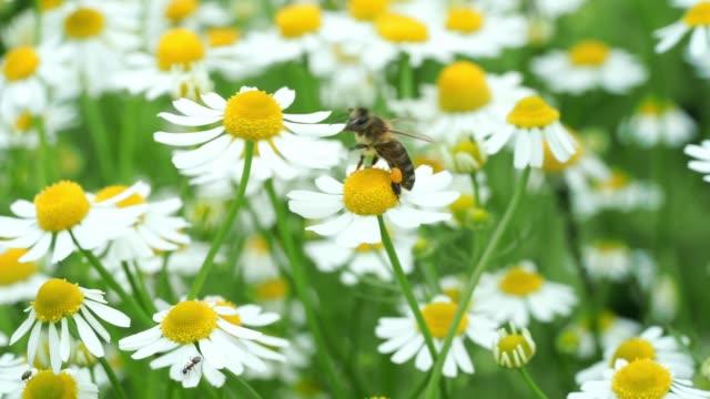 Bee picking pollen chamomile flower. video