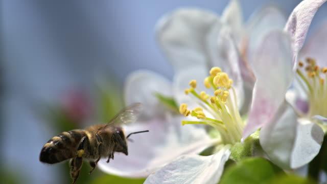 ape slo mo che raccoglie polline da uno stame - ape operaia video stock e b–roll