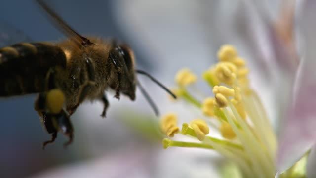 slo mo pszczoły podnoszenia pyłku z kwiatów pręcik - pszczoła filmów i materiałów b-roll
