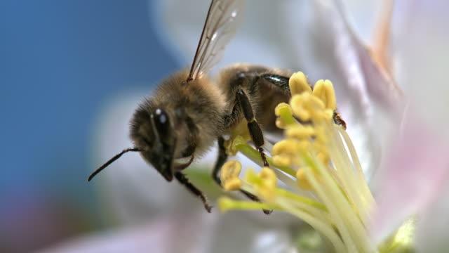 slo mo pszczoły podnoszenia pyłku - pszczoła filmów i materiałów b-roll