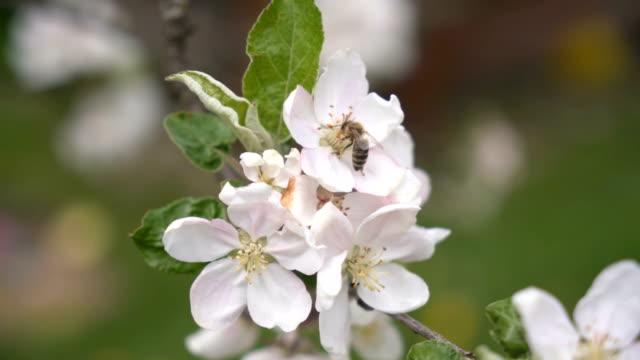 ett bi pollinerar en blomma i frukt träd i fräsch vårnatur - fruktträdgård bildbanksvideor och videomaterial från bakom kulisserna