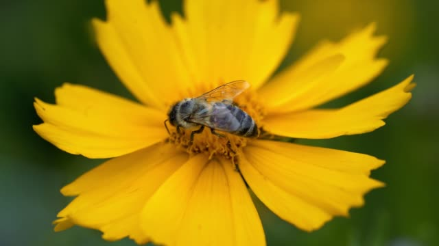 bee pollinates a flower yellow daisy. - coreopsis lanceolata video stock e b–roll