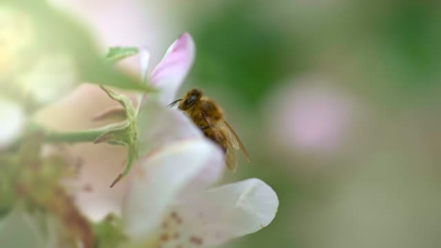 Bee pollinates apple tree flower and flying away. Close up shot of bee on spring flower. Slow motion