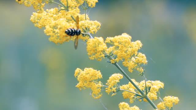 vídeos de stock, filmes e b-roll de abelha poliniza a flor amarela prado - sem cultivo
