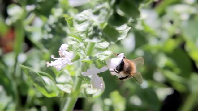 Bee pollinating basil flowers video