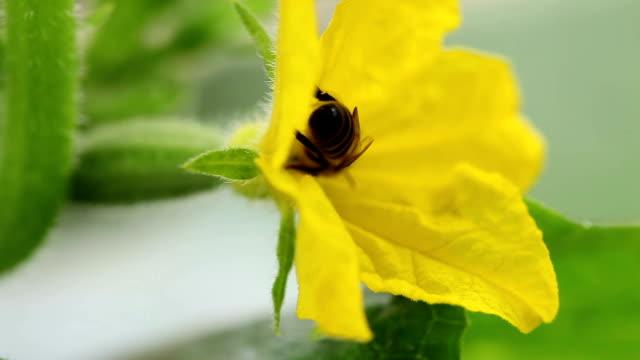ape pollinating cetrioli - ape operaia video stock e b–roll