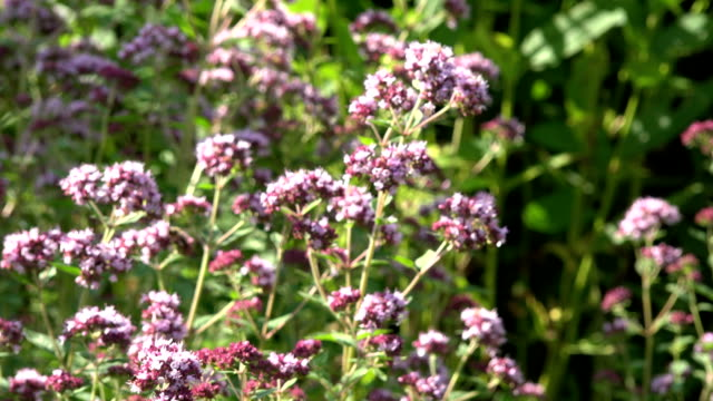Bee pollinating origanum video