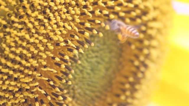 Bee rubbing legs gathering pollen balls while collecting powder,DOF. Shallow DOF, Macro, Tiny Bee is rubbing her two posterior legs to gathering and making beautiful yellow pollen powder balls while she collecting flower pollen powder in the sunflower. animal limb stock videos & royalty-free footage