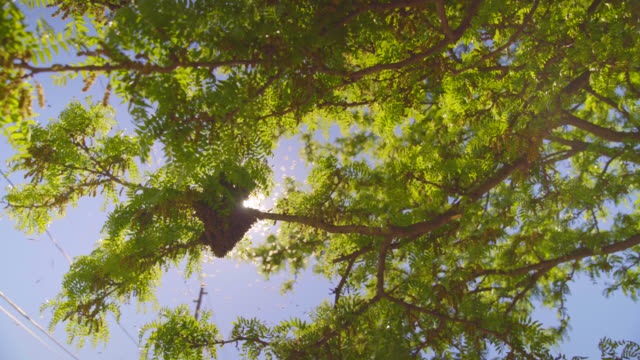 A Bee Swarm Gathers in A Tree - Wide video
