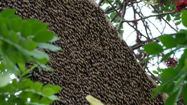 bee swarm on tree branch - torace animale video stock e b–roll