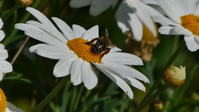 bee takes nectar from a daisy - нивяник стоковые видео и кадры b-roll
