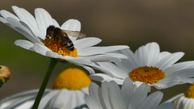 bee takes nectar from a daisy