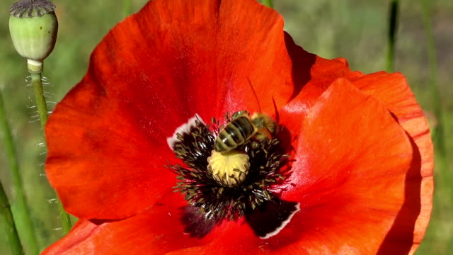 Bee Takes Pollen From a Red Poppy Flower video