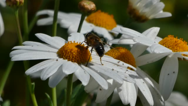 bee that takes nectar from a daisy - нивяник стоковые видео и кадры b-roll