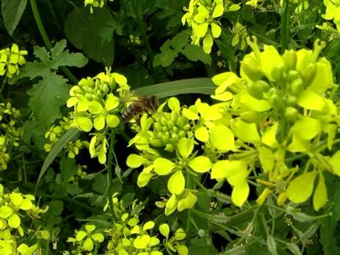 vídeos y material grabado en eventos de stock de abeja  - insecto himenóptero