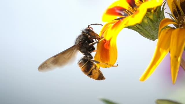 bienenwespe hornisse trinken auf gelben blume closeup ansicht natur zeitlupe - hornisse stock-videos und b-roll-filmmaterial