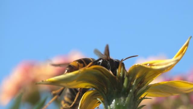 vídeos de stock e filmes b-roll de bee wasp hornet - velutina