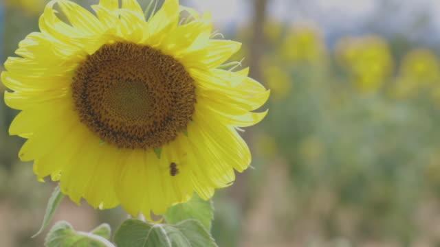 vídeos y material grabado en eventos de stock de trabajador de abejas chupando agua dulce en girasol. - flor silvestre