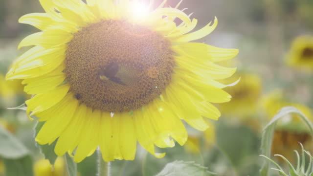 vídeos de stock e filmes b-roll de bee worker sucking sweet water in sunflower. - granadilha