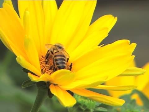 vídeos y material grabado en eventos de stock de bee de trabajo y la recolección de miel - insecto himenóptero